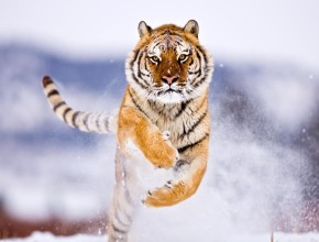 running-siberian-tiger-wildlife-hd-wallpaper